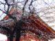 2018年秋葉原桜開花状況